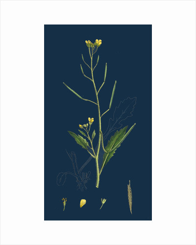 Brassica Muralis; Common Sand Rocket by Anonymous