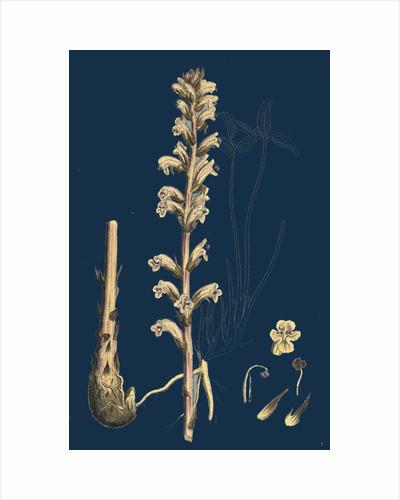 Orobanche Eu-Minor; Lesser Broom-Rape by Anonymous