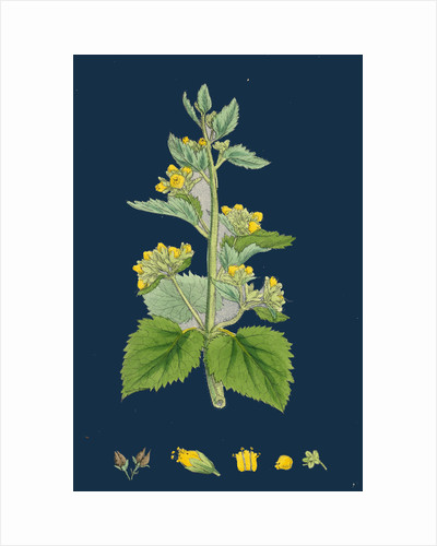 Scrophularia Vernalis; Yellow Figwort by Anonymous