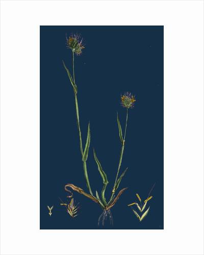 Cynosurus Echinatus; Rough Dog's-Tail-Grass by Anonymous