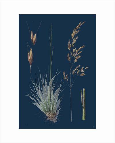 Aira Uliginosa; Bog Hair-Grass by Anonymous