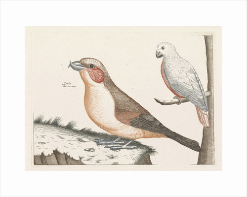In the foreground a crossbill, right on a branch a white bird with curved beak by Anonymous