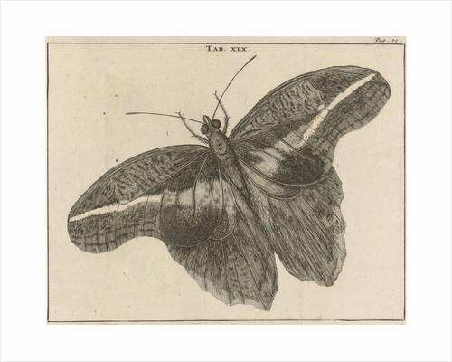 Surinamese giant butterfly XIX by Jan Claesz ten Hoorn