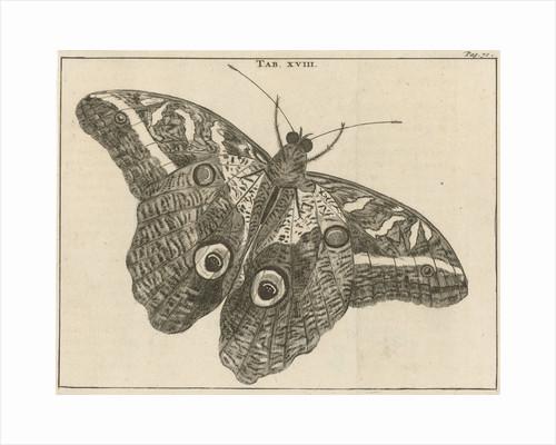 Surinamese giant butterfly XVIII by Jan Claesz ten Hoorn