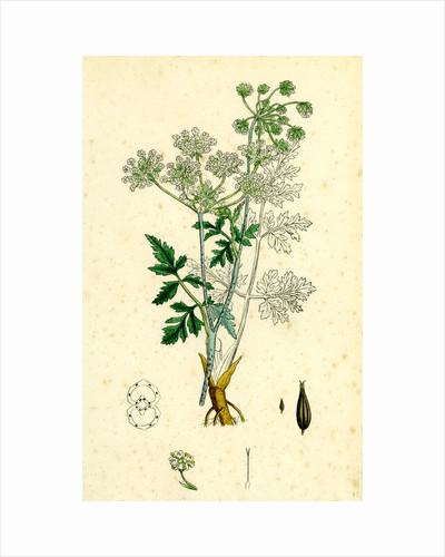 Chaerophyllum Temulum Rough Chervil by Anonymous