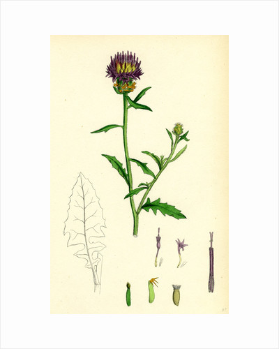 Centaurea Aspera Rough Star-Thistle by Anonymous