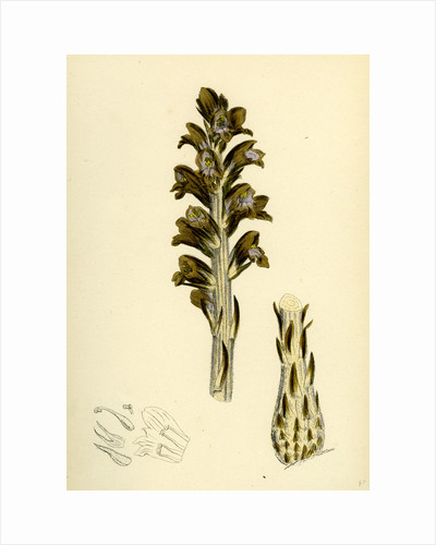 Orobanche Rapum Greater Broom-Rape by Anonymous