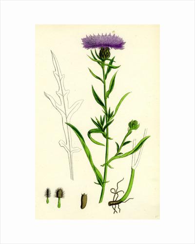 Centaurea Nigra Var. Decipiens Black Knapweed Var. B. by Anonymous