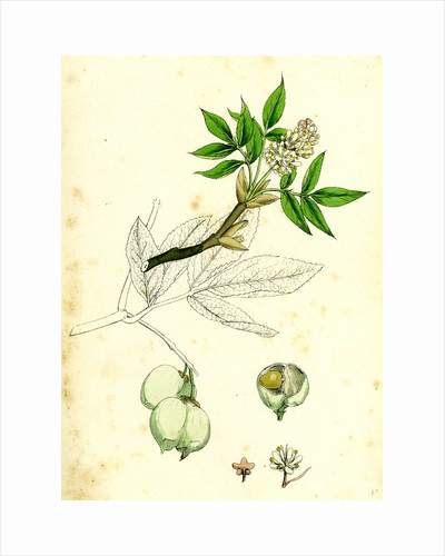 Staphylea Pinnata Common Bladder-Nut by Anonymous