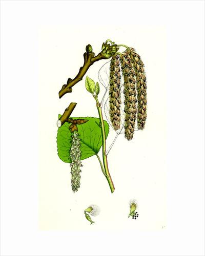 Populus Nigra Black Poplar by Anonymous