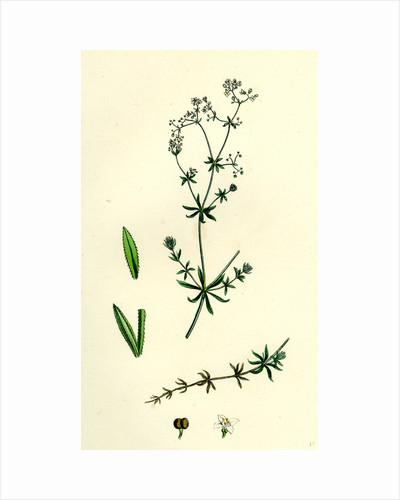 Galium Uliginosum Rough Marsh Bedstraw by Anonymous