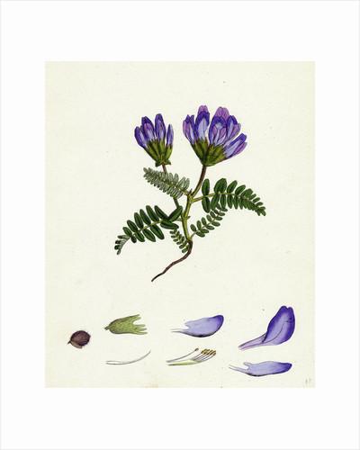 Astragalus Hypoglottis Purple Milk-Vetch by Anonymous