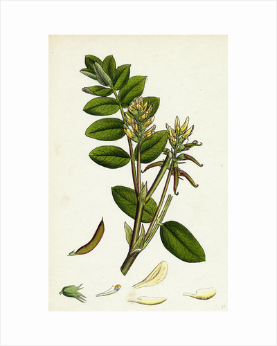Astragalus Glycyphyllus Sweet Milk-Vetch by Anonymous