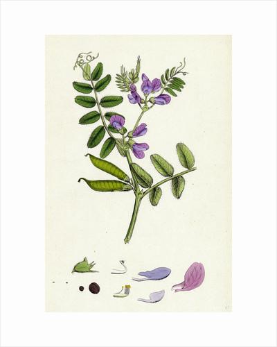 Vicia Sepium Bush Vetch by Anonymous