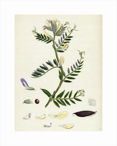 Vicia Eu-Lutea Bush-Podded Yellow Vetch by Anonymous