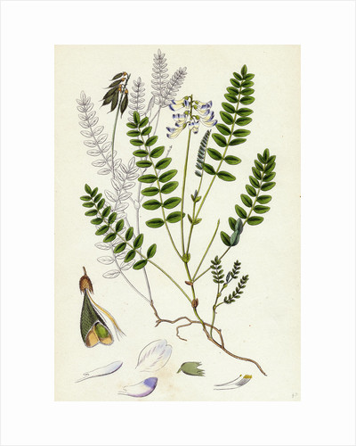 Astragalus Alpinus Alpine Milk-Vetch by Anonymous