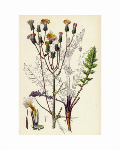 Crepis Taraxacifolia Small Rough Hawk's-Beard by Anonymous