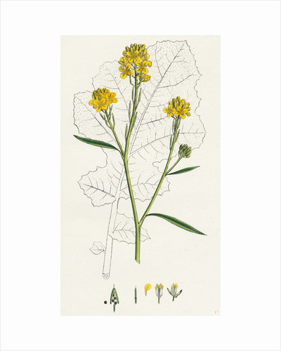 Brassica Nigra Black Mustard by Anonymous