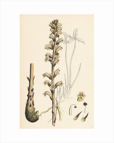 Orobanche Eu-Minor Lesser Broom-Rape by Anonymous