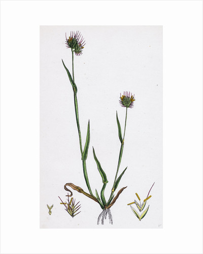 Cynosurus Echinatus Rough Dog's-Tail-Grass by Anonymous