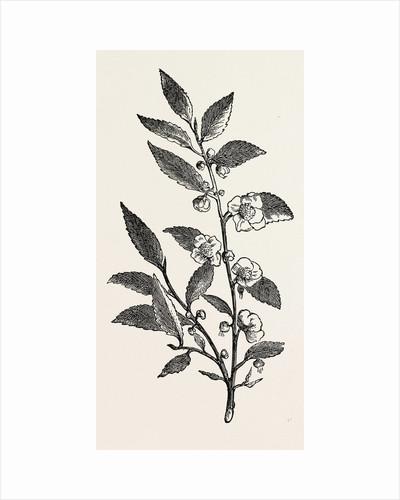 Tea Plant (Thea Viridis) by Anonymous