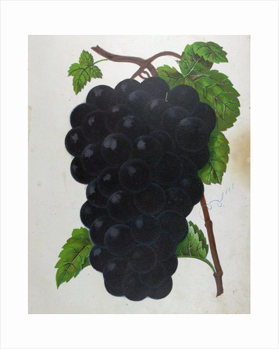 Wine Grapes by Anonymous