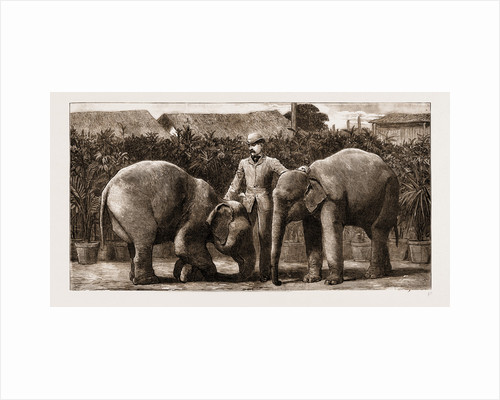 Burmese Elephants Born In Captivity, 1881 by Anonymous