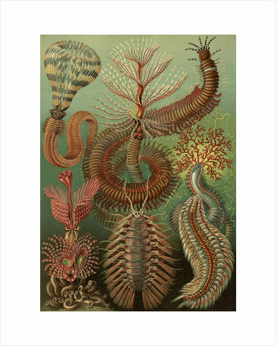 Illustration showing a variety of chaetopoda or spined marine worms. Chaetopoda by Ernst Haeckel