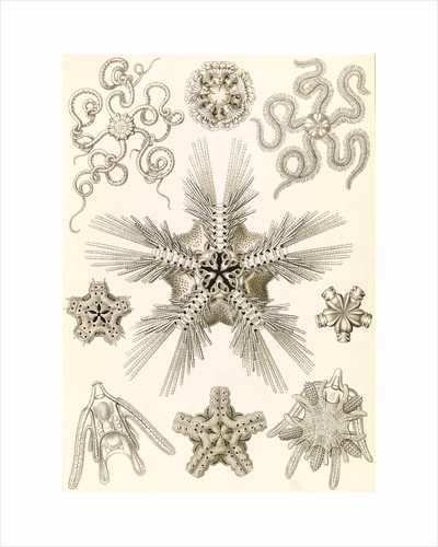 Marine invertebrates related to starfish. Ophiodea by Ernst Haeckel