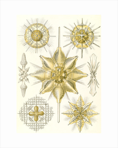 Marine animals. Acanthometra by Ernst Haeckel