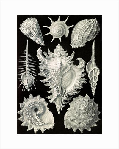 Aquatic and terrestrial snails. Prosobranchia by Ernst Haeckel