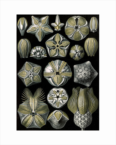 Marine animals. Blastoïdea by Ernst Haeckel