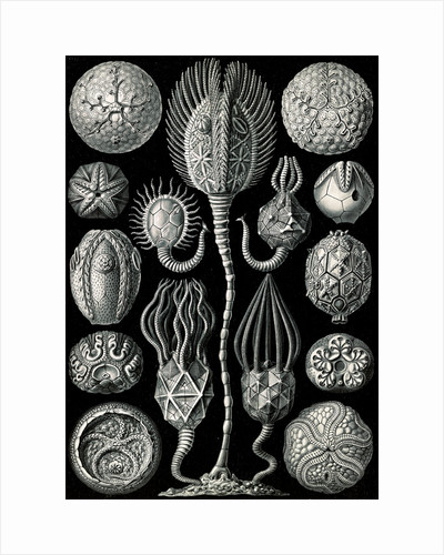 Marine animals. Cystoidea by Ernst Haeckel