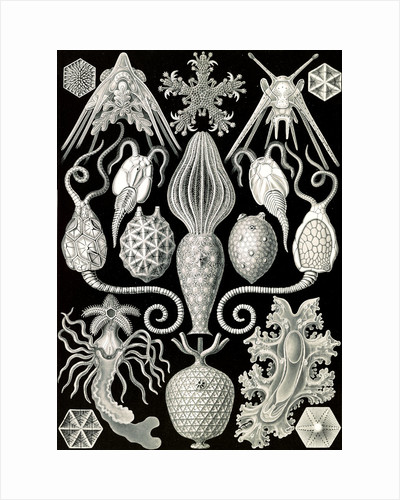 Marine animals. Amphoridea by Ernst Haeckel