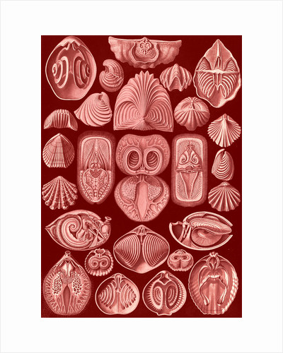 Marine animals. Spirobranchia by Ernst Haeckel