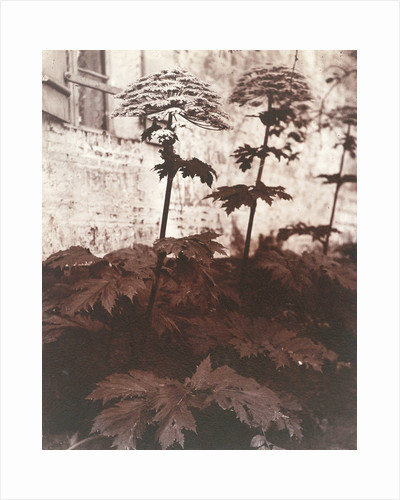Study of Plants by Eugène Atget