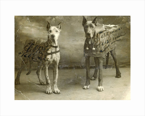 Portrait two dogs toymaker advertising texts Turman cigarettes by Anonymous