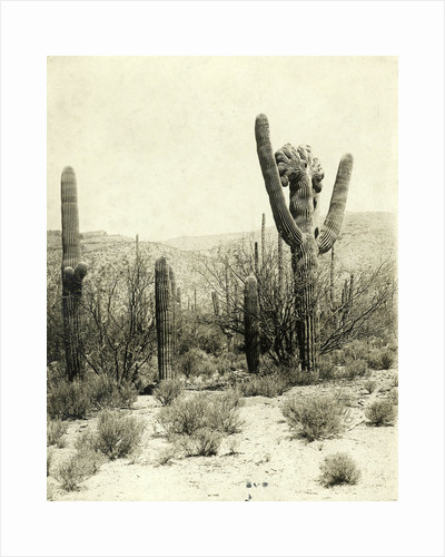 Giant Cactus in the desert near Tucson USA by Anonymous