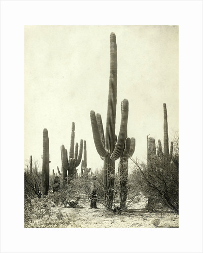 Giant Cactus in the desert of Tucson USA by Anonymous