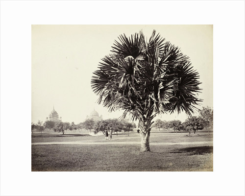 A Palm Tree Study, Lucknow, India by Samuel Bourne