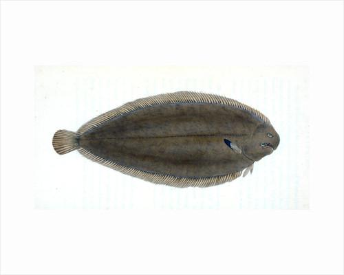 Common Gar-fish, Esox belone by E. Donovan