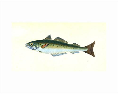 Coal Fish, Gadus Carbonarius by E. Donovan