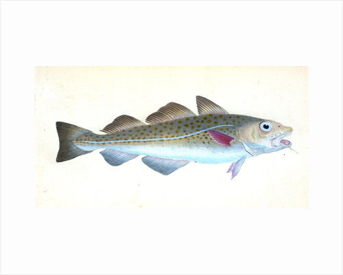 Common Cod-fish, Gadus Morhua by E. Donovan