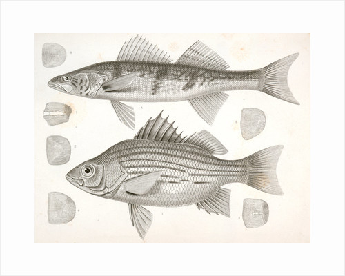1-4. Labrax chrysops, Bass of the Mississippi, 5-8. Stizostedion boreus, Okow or Pike Perch by George Suckley