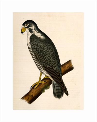 Falco nigriceps, Western Duck-Hawk by George Suckley