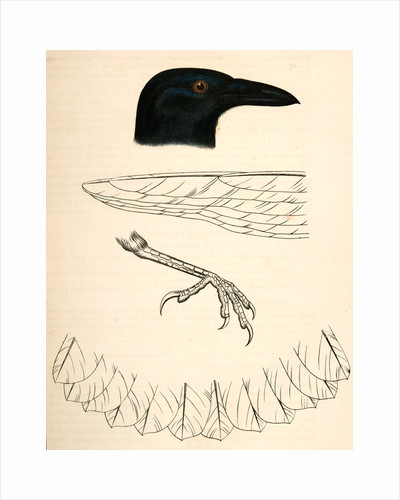Corvus caurinus, Northwestern Fishcrow by George Suckley