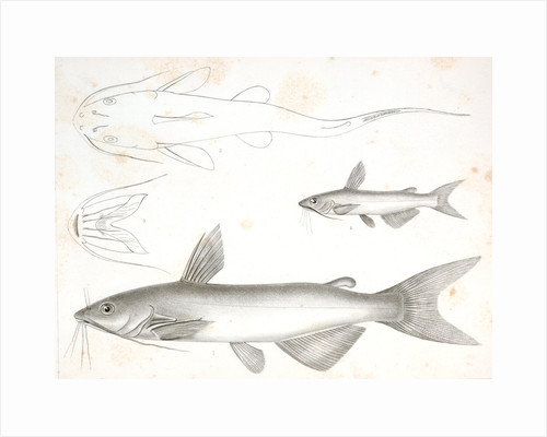 1-3. Pimelodus olivaceus, Olive Colored Cat Fish; 4-6. Pimelodus catulus, Kitten Fish by George Suckley