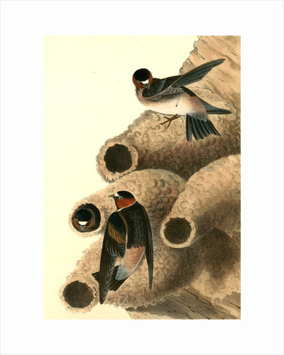 Cliff Swallow. (Nests) by John James Audubon