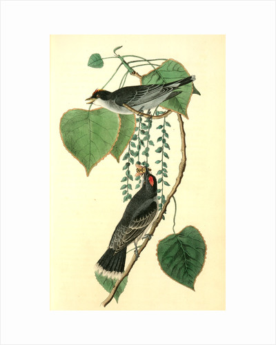 Tyrant Flycatcher or King Bird. (Cotton wood. Populus candicans) by John James Audubon