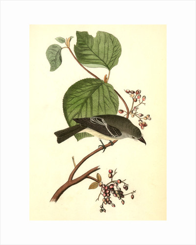 Short-legged Pewit Flycatcher. Male. (Hobble Bush. Viburnum Lantanoides) by John James Audubon